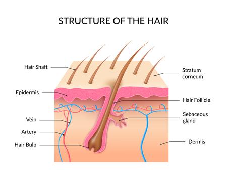 Infographie de l'anatomie des cheveux humains avec coupe transversale des couches de peau bulbe de follicule pileux et arbre et illustration vectorielle réaliste de la glande sébacée