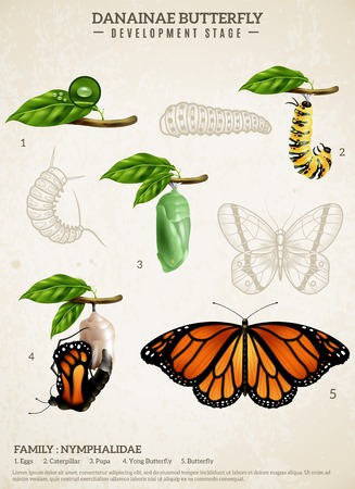 Entomology realistic poster presenting development stages of danainae butterfly belonging to nymphalidae family vector illustration