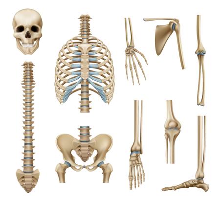 Realistische delen van het menselijk skelet die met de botten van het bekken en de ledematen geïsoleerde vectorillustratie van de schedel wervelkolom schouderblad Vector Illustratie