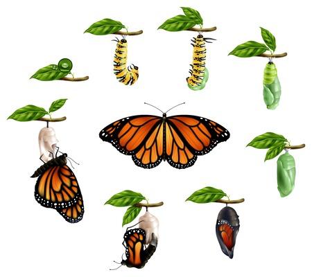 Lebenszyklus von realistischen Symbolen des Schmetterlingssatzes der Vektorillustration der Raupenlarvenpuppe imago Phasenphasen Vektorgrafik