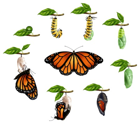 Life cycle of butterfly realistic icons set of caterpillar larva pupa imago phases vector illustration Çizim