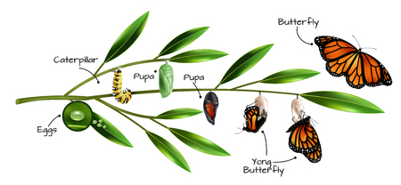 Butterfly metamorphosis on example of danainae monarch species realistic composition vector illustration Ilustração