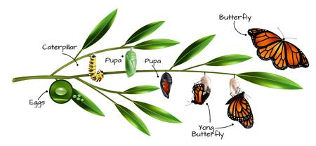 Metamorfosis de la mariposa en el ejemplo de la ilustración de vector de composición realista de especies de monarca danainae