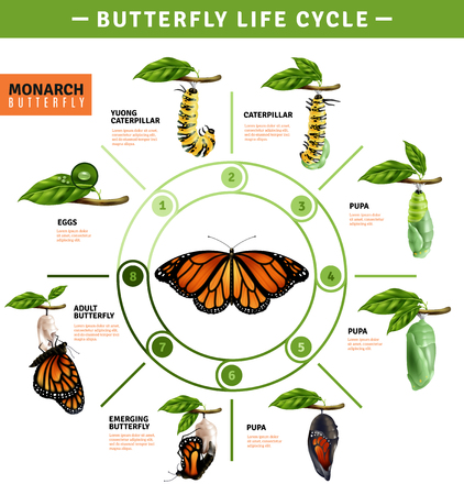 Butterfly life cycle infographics layout illustrated developing stage of monarch species from eggs to emerging vector illustration