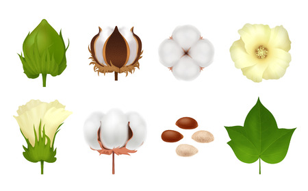 White realistic and 3d cotton  icon set with steps of grow flower on white background vector illustration