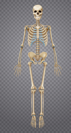Realistic human skeleton isolated on transparent background 3d vector illustration Illustration