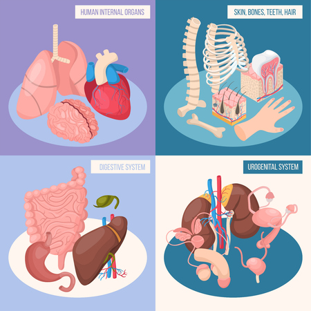 Human organs 2x2 design concept set of digestive and urogenital systems skin bones teeth hair isometric vector illustration Illustration