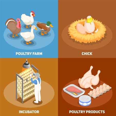 Poultry 2x2 design concept set of chick in nest poultry farm incubator and poultry products square icons isometric vector illustration