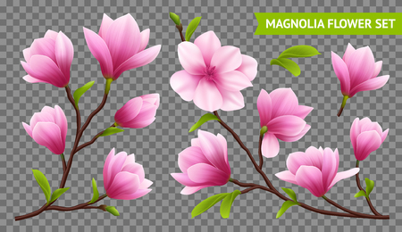 Colored and isolated realistic magnolia flower transparent icon set with branch on transparent background vector illustration