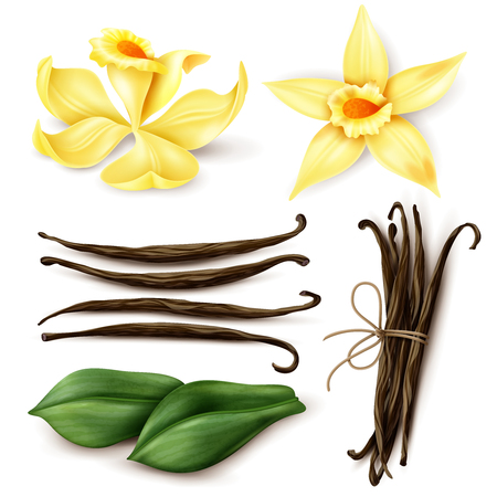 Vanilla plant realistic set with fresh yellow flowers aromatic dried brown beans and leaves isolated vector illustration Illustration