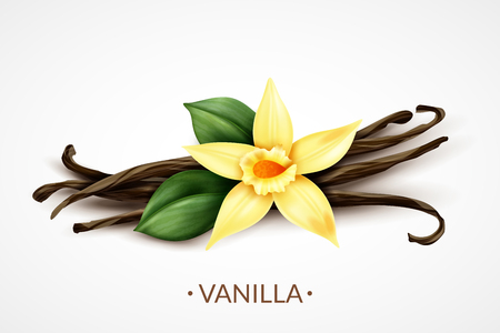 Sweet scented fresh vanilla flower with dried seed pods realistic composition of distinctive culinary flavoring vector illustration