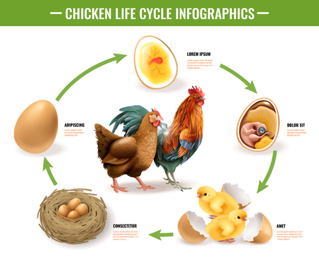 Chicken life cycle stages realistic infographic composition from fertile eggs embryo development to hatching chicks vector illustration Illustration
