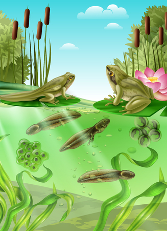 Frog life cycle water stages realistic poster with adult amphibian eggs mass tadpole with legs vector illustration