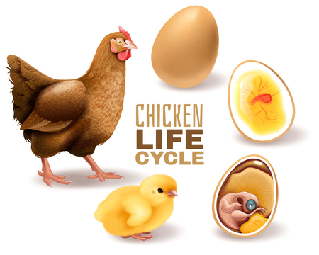 Chicken life cycle stages realistic  composition from fertile egg embryo development hatching to adult hen vector illustration Illustration