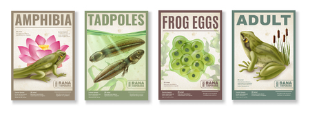 Frog life cycle from fertilized eggs jelly  tadpoles to adult amphibia 4 realistic posters set vector illustration
