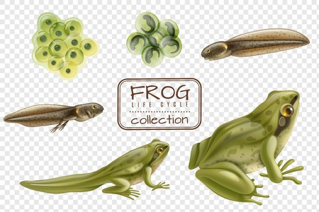 Kikker levenscyclus stadia realistische set met volwassen dier bevruchte eieren kikkervisje kikkertje transparante achtergrond vectorillustratie Vector Illustratie