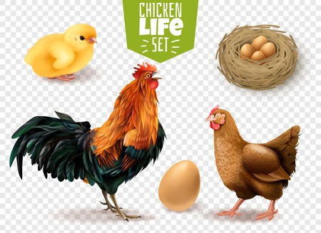 Chicken life cycle realistic set from eggs laying chicks hatching to adult birds transparent background vector illustration Illustration