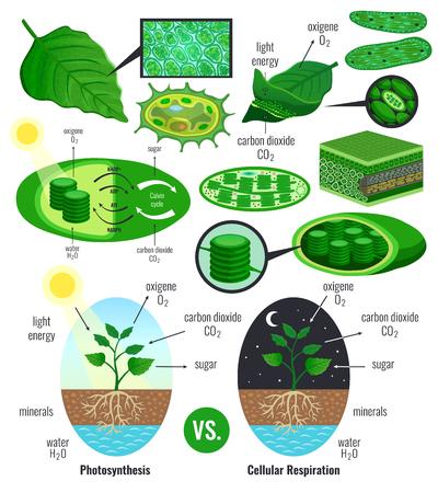 Éléments d'infographie de photosynthèse biologique avec conversion d'énergie lumineuse schéma de cycle de calvin plantes respiration cellulaire illustration vectorielle colorée Vecteurs