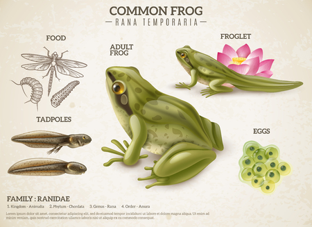 Frog life style retro biology science educative poster with adult animal eggs mass tadpoles froglets vector illustration