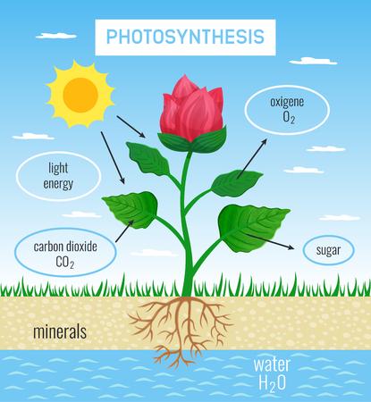 Rolle der biologischen Photosynthese im Pflanzenwachstum flaches Bildungsplakat, das die Umwandlung von Sonnenenergie in chemische Vektorillustration darstellt depict Vektorgrafik