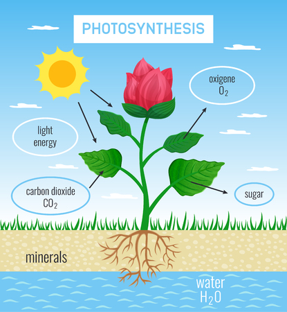 Biological photosynthesis role in plant growth flat educational poster depicting conversion solar energy to chemical vector illustration