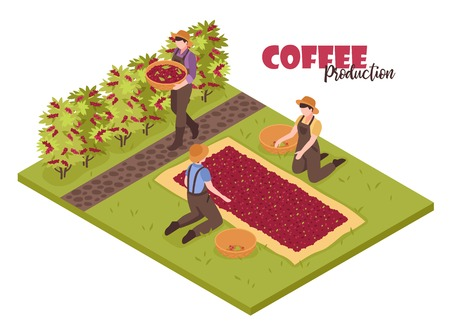 Isometric coffee production white background with plants bushes and people collecting beans with editable ornate text vector illustration