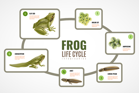 Frog life cycle realistic infographic chart from eggs mass embryo development tadpole to adult animal vector illustration Illustration