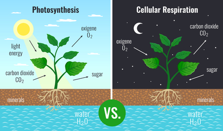 Photosynthesis accumulating sugar and cellular respiration fueling all plants functions day night 2 educational posters vector illustration 版權商用圖片 - 119642073