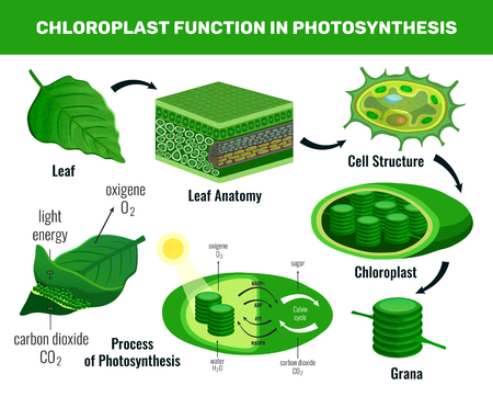 Chloroplast converting light energy into sugar for green plant cells food photosynthesis infographic elements schema vector illustration Vectores