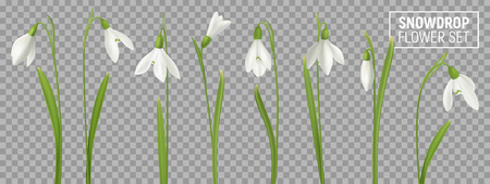Realistic snowdrop flower set on transparent background with isolated realistic images of natural flowerage with stems vector illustration Reklamní fotografie - 121692490
