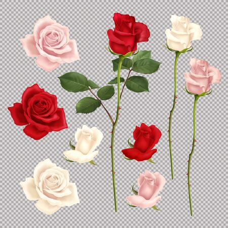 Realistic set of red pink and white roses isolated on transparent background vector illustration Vetores