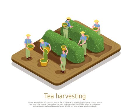 Tea production basis growers harvesting plants by hand picking top leaves with buds isometric composition vector illustration