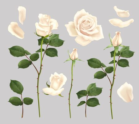 Beautiful blooming white rose flowers and petals realistic set isolated vector illustration Çizim