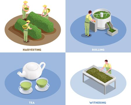 Tea production concept 4 isometric compositions with harvesting rolling withering and fresh brewed green beverage vector illustration