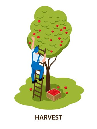 Farmer on ladder hand picking red apples harvesting fruit tree in orchard isometric isolated composition vector illustration Illusztráció