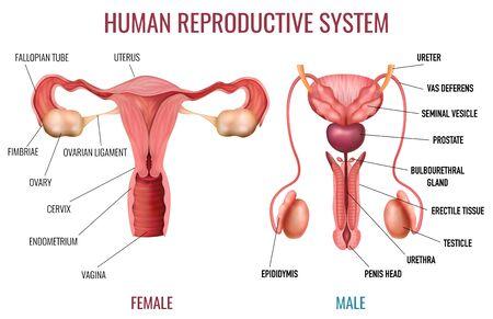 Realistyczny zestaw męskiego i żeńskiego ludzkiego układu rozrodczego z oznaczonymi częściami na białym tle izolowane ilustracji wektorowych
