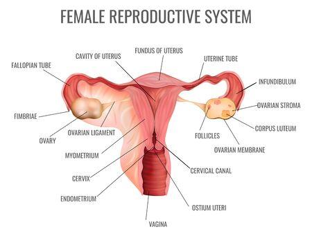Weibliches Fortpflanzungssystem und seine Hauptteile auf realistischer Vektorillustration des weißen Hintergrundes Vektorgrafik