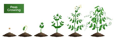 Peas plant growth stages composition with text and set of isolated images representing consequent growth  phases vector illustration Ilustração