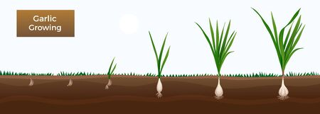 Vegetables growth stages educative horizontal gardener gids banner with garlic from cloves planting to harvesting vector illustration