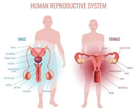 Conjunto realista con sistema reproductivo masculino y femenino y silueta de hombre y mujer aislados ilustración vectorial
