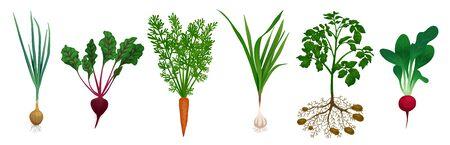 Set with images of beet carrot potato onion radish garlic kitchen garden vegetables on blank background vector illustration Foto de archivo - 134441024