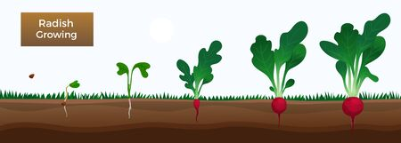 Vegetables growth stages educative horizontal banner with growing radish from seeds sowing germinating to harvesting vector illustration Illustration