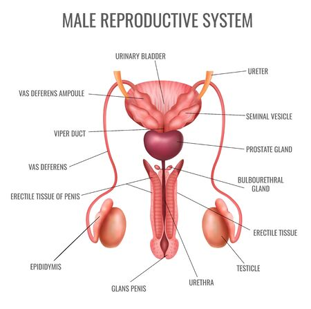 Realistic male reproductive system and its parts labelled on white background vector illustration