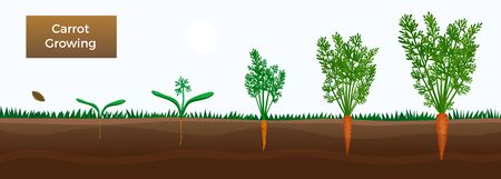 Vegetables growth stages educative horizontal banner with carrot growing  from seeds sowing germinating to harvesting vector illustration