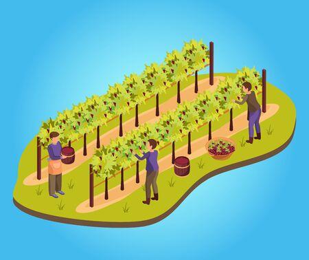 Wine production background with harvest and vineyard symbols isometric vector illustration