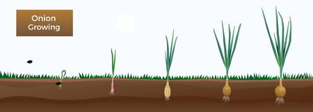 Vegetables onion growth stages composition with editable text and images of onion plant at different ages vector illustration