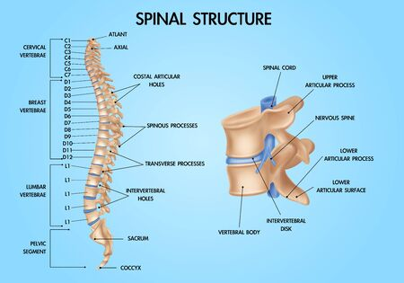 Human vertebral column spinal structure chart realistic medical education anatomy  textbook infographic poster blue background vector illustration