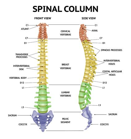 Spinal column anatomy side front views realistic info-chart medical human skeleton parts textbook figure vector illustration
