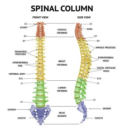 Vues de face de l'anatomie de la colonne vertébrale réaliste info-graphique médical squelette humain pièces manuel figure illustration vectorielle