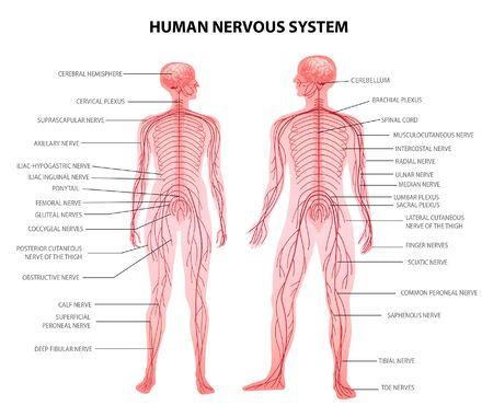 Illustrazione di vettore di terminologia anatomica del grafico educativo della fisiologia realistica del sistema nervoso centrale e periferico del corpo femminile umano umano